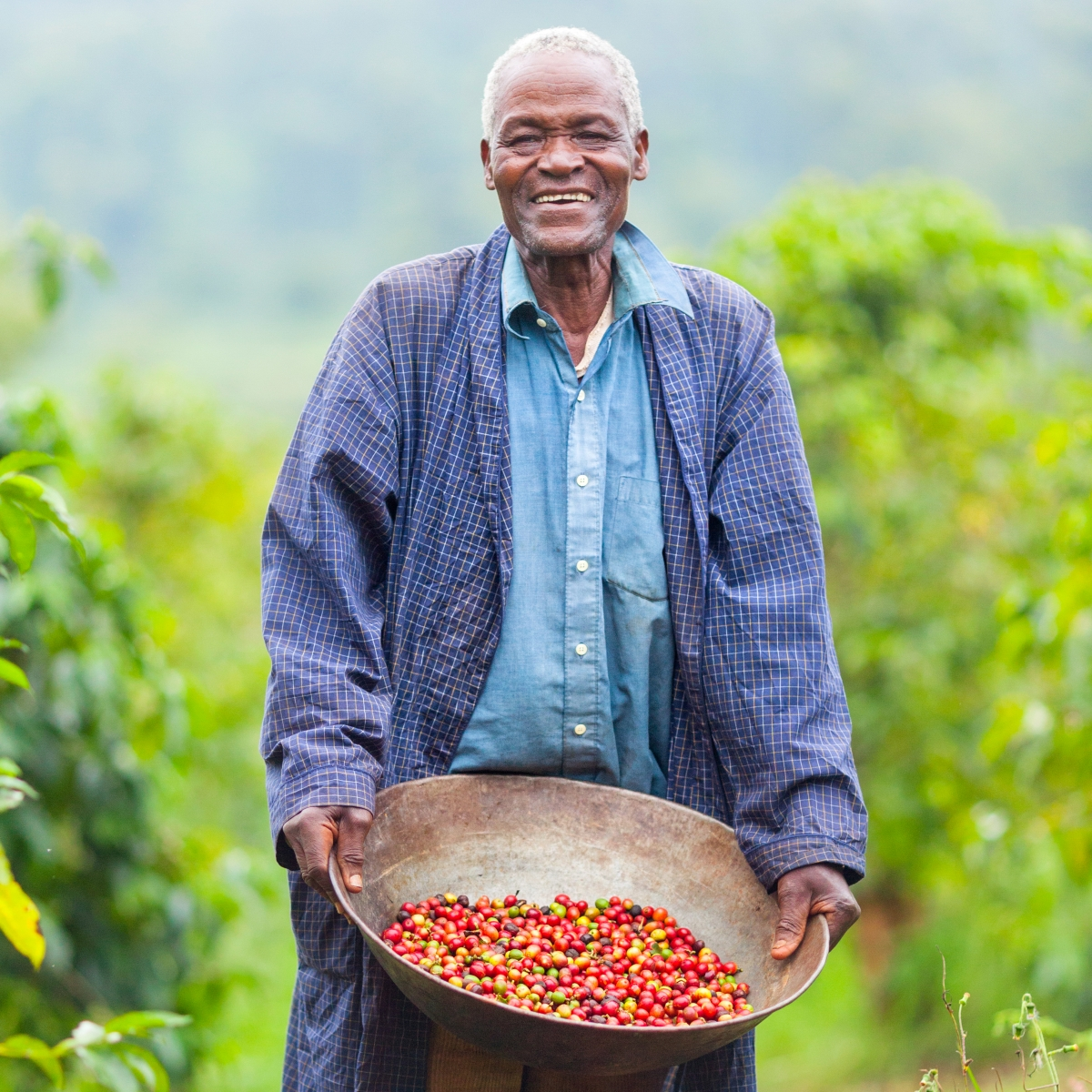 A Kenyan coffee farmer holding freshly harvested organic fair trade coffee cherries from the coffee plant.